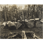 1458B/7a: Logs reading for hauling at Yarloop, Western Australia, ca. 1903.
