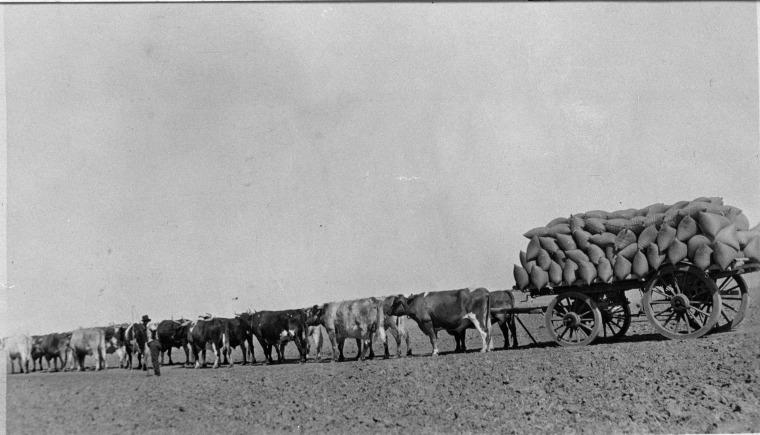 029327PD: Albert Massey's bullock team, Dowerin, 10 December 1928. (Click to Start Zoom)